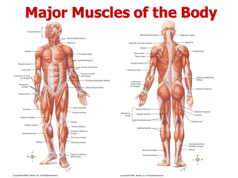 Major Muscles In The Body Reference Photo Gallery In Website With ...