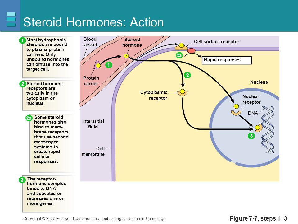 6 steps of steroid hormone action in organon german