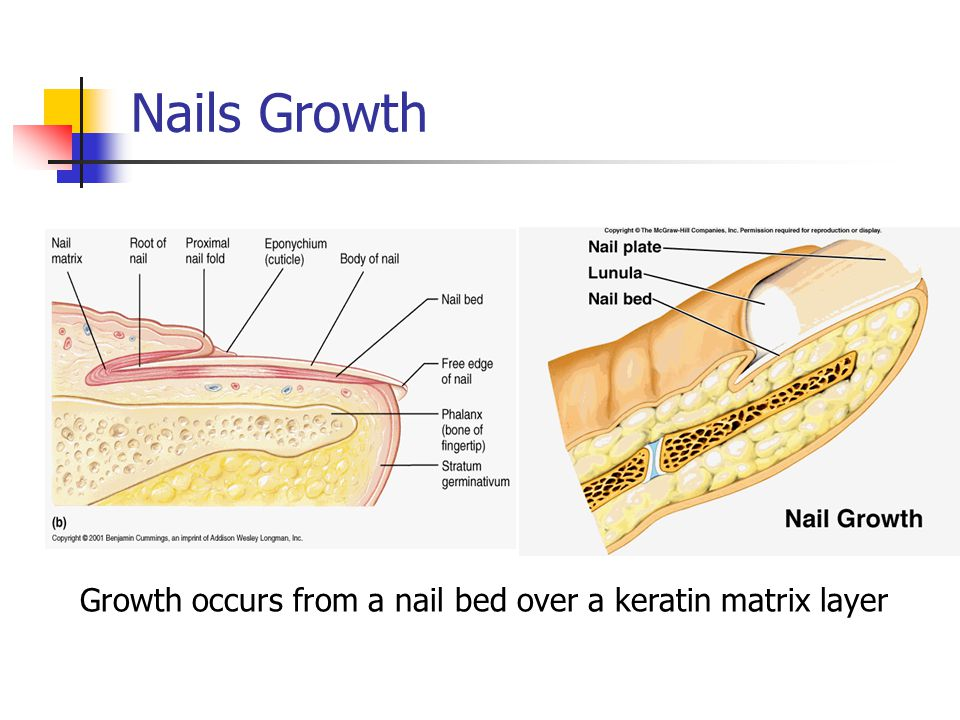 Nail Growth Diagram - All Kind Of Wiring Diagrams •