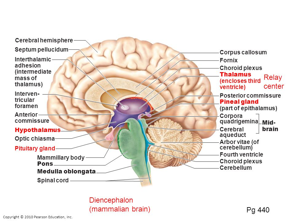 The neural plate forms from surface ectoderm ppt video online diencephalon mammalian brain pg 440 ccuart Images