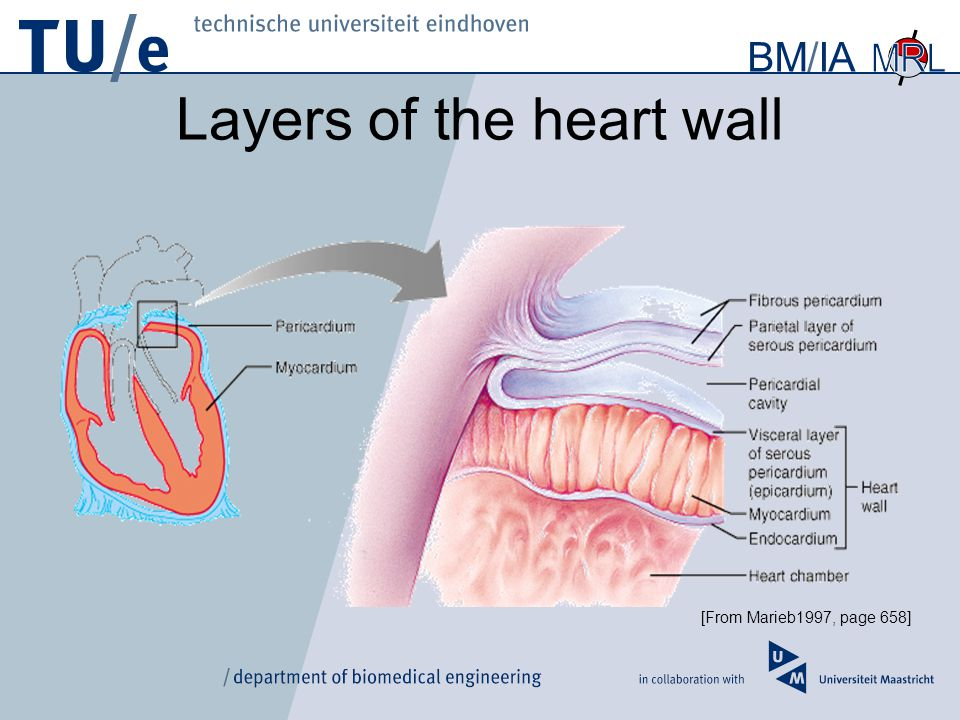 3d Shape Variability Of The Healthy And Infarcted Mouse Heart Ppt
