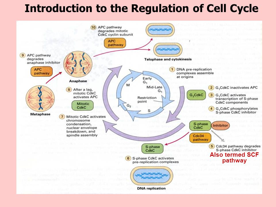 Lectures Cell Cycle Re...