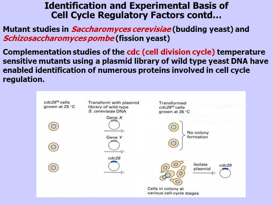 Lectures Cell Cycle Regulation and Cancer - ppt video ...