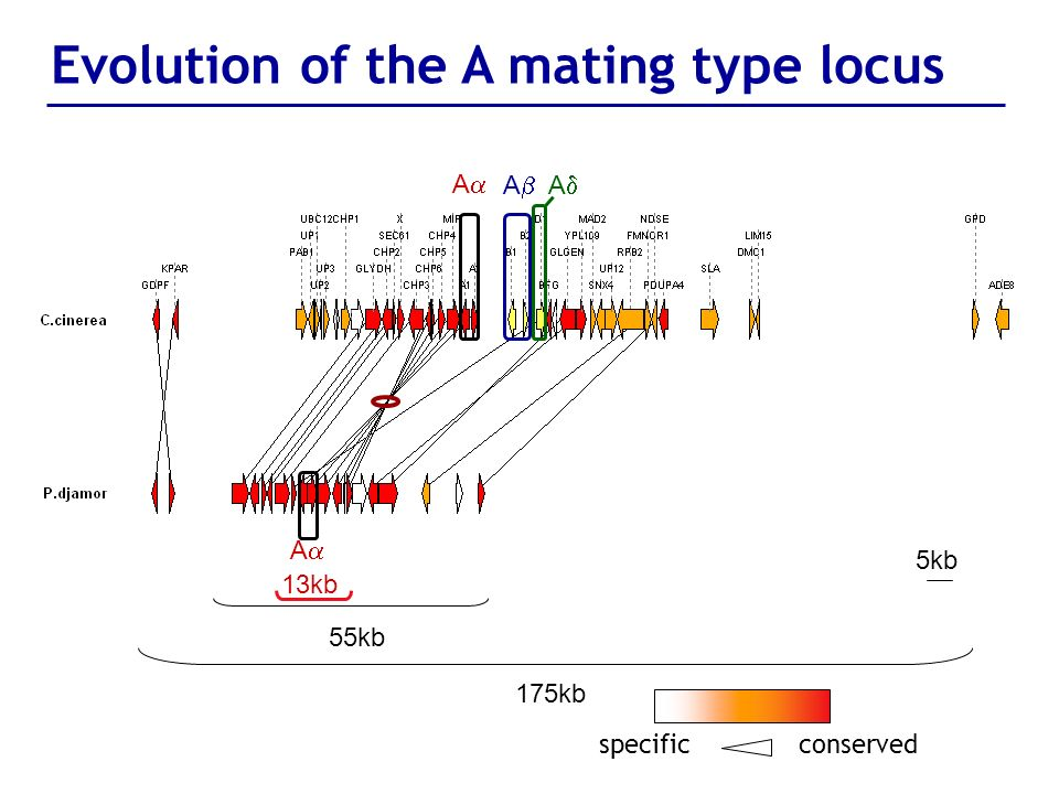 Evolution of the A mating type locus