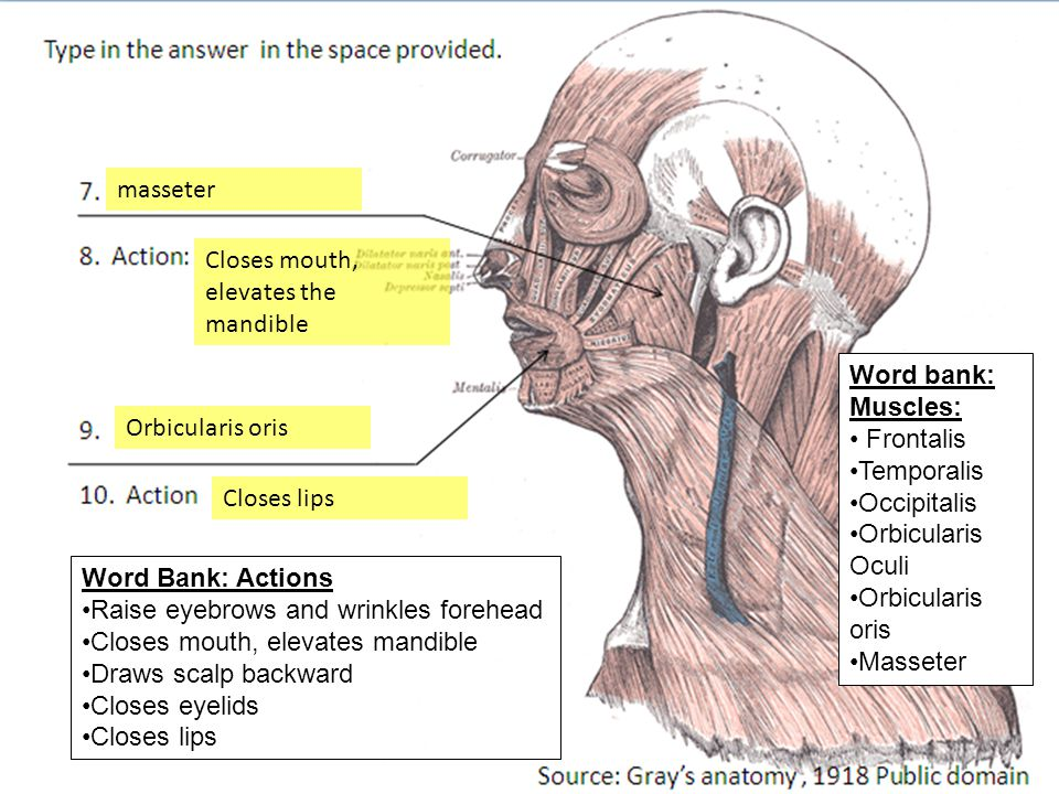 frontalis Insertion of 1 Skin above eyebrows temporalis Word bank ...