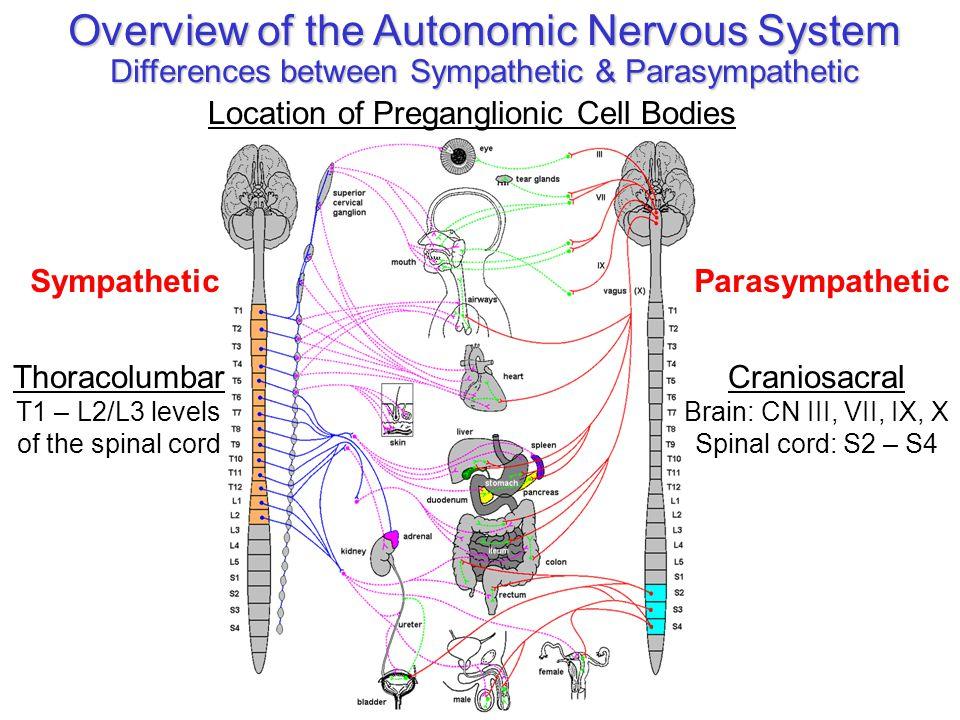Peripheral Nervous System 2 The Autonomic System Ppt Video Online