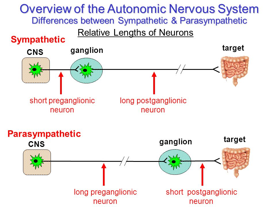 peripheral nervous system 2 the autonomic system ppt