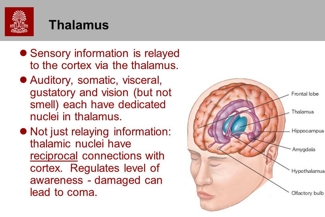 Thalamus Sensory information is relayed to the cortex via the thalamus.