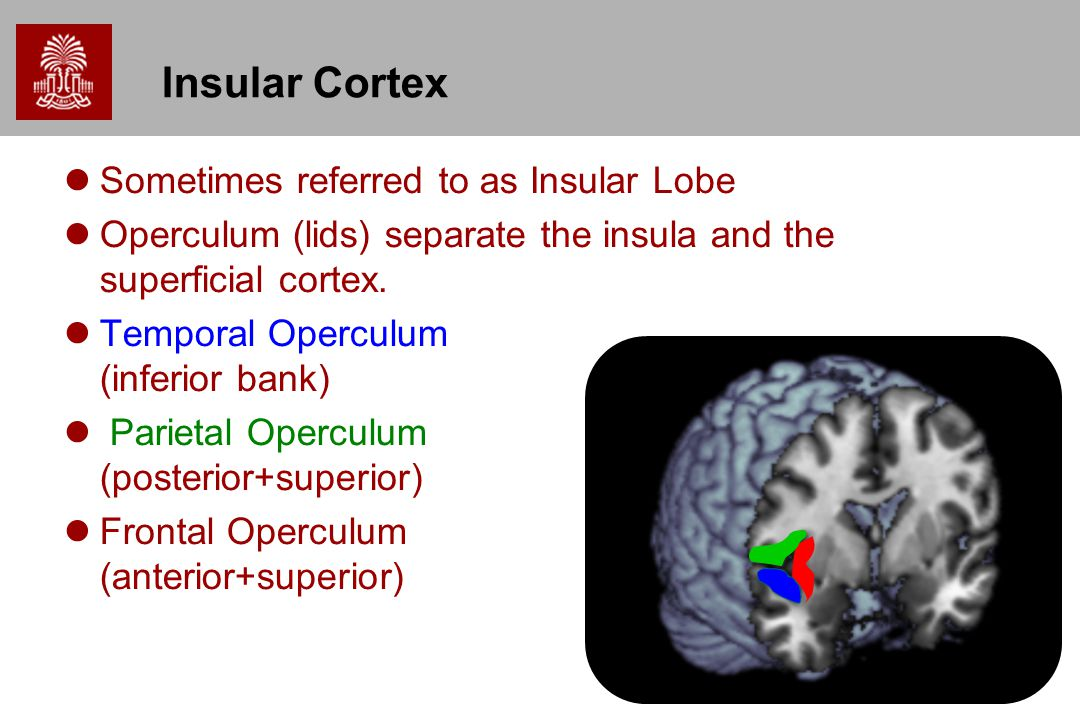 Insular Cortex Sometimes referred to as Insular Lobe