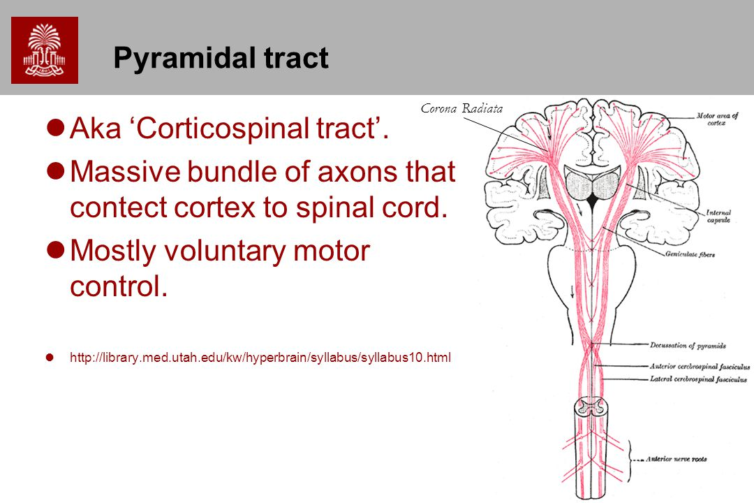 Chapter 3 CNS Gross Anatomy - ppt video online download