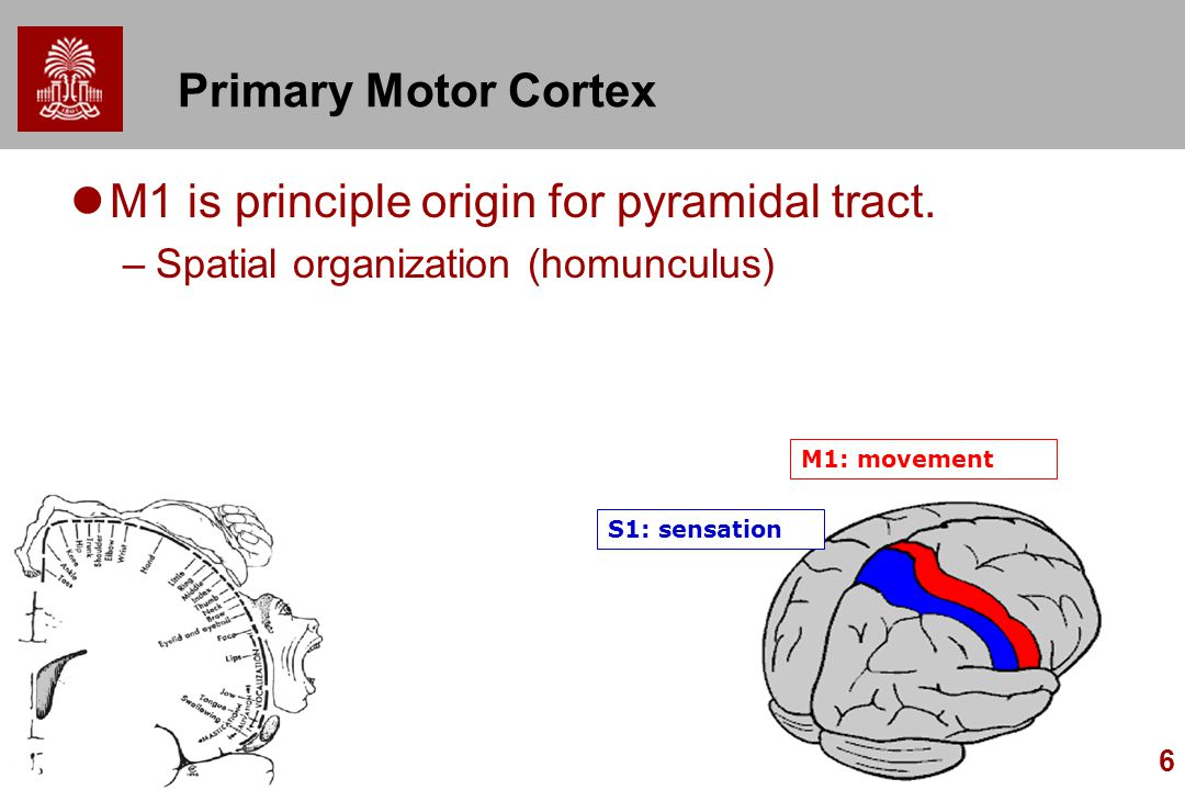 M1 is principle origin for pyramidal tract.