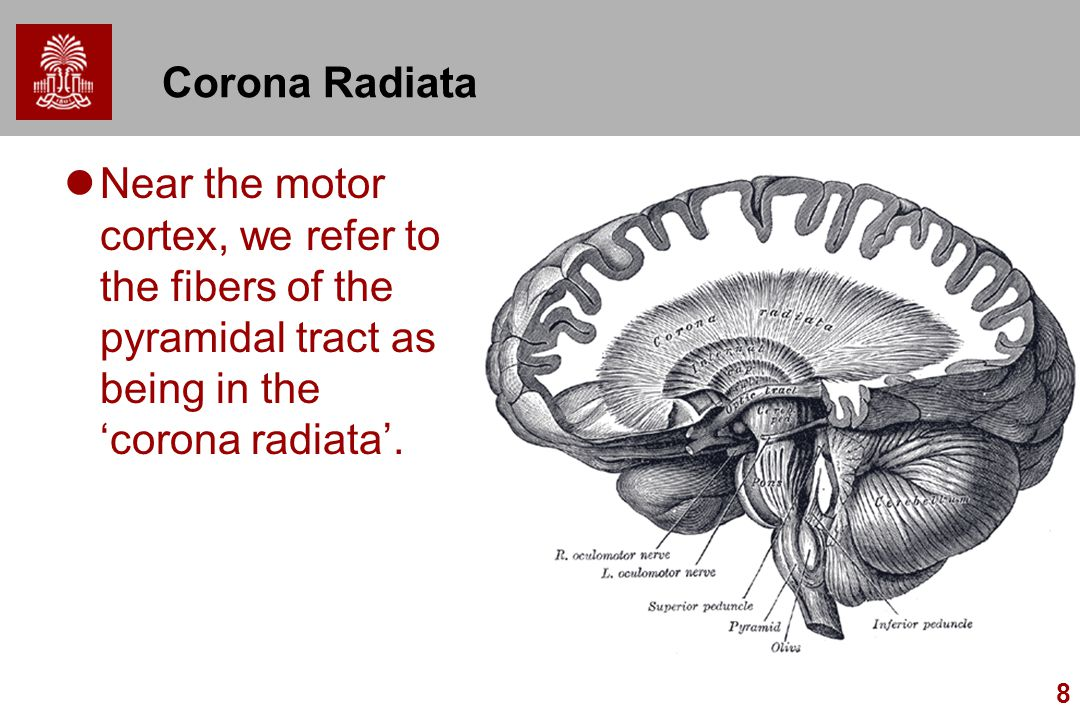 Corona Radiata Near the motor cortex, we refer to the fibers of the pyramidal tract as being in the 'corona radiata'.