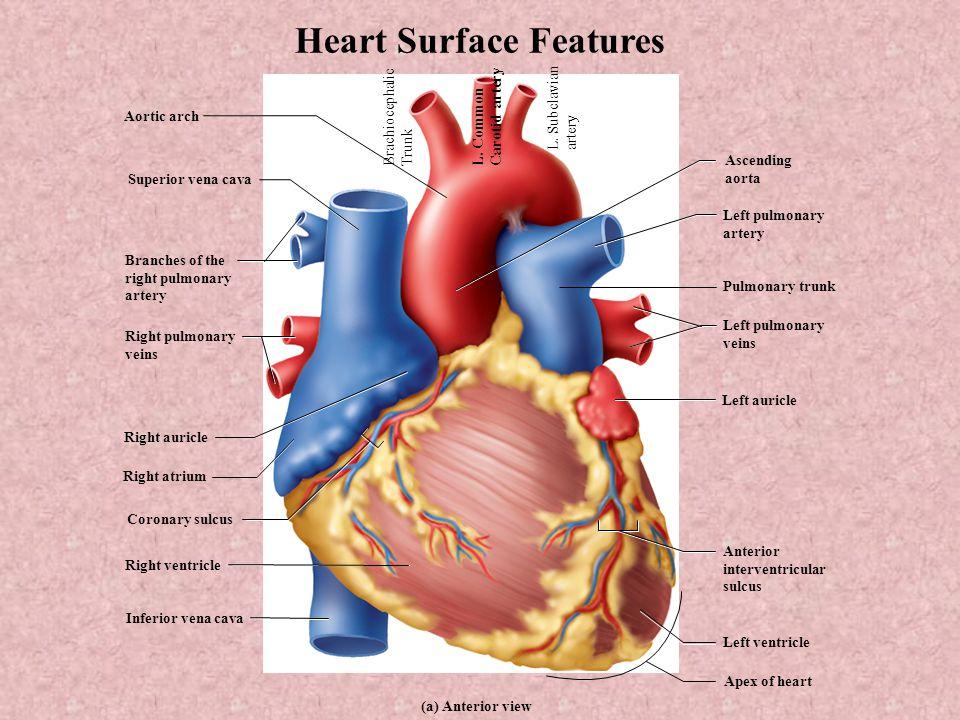 Unit II: Transport Cardiovascular System I - ppt video online download