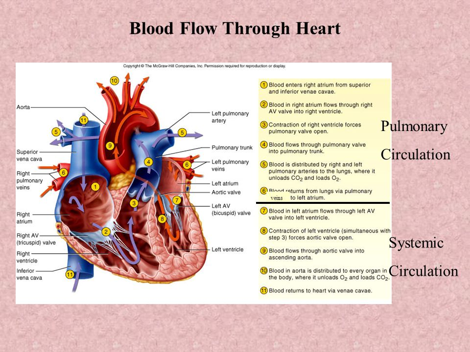 blood flow through the heart When a heart contracts and forces blood into the blood vessels, there is a certain path that the blood follows through the body the blood moves through pulmonary circulation and then continues on through systemic circulation pulmonary and systemic are the two circuits in the two-circuit system of.