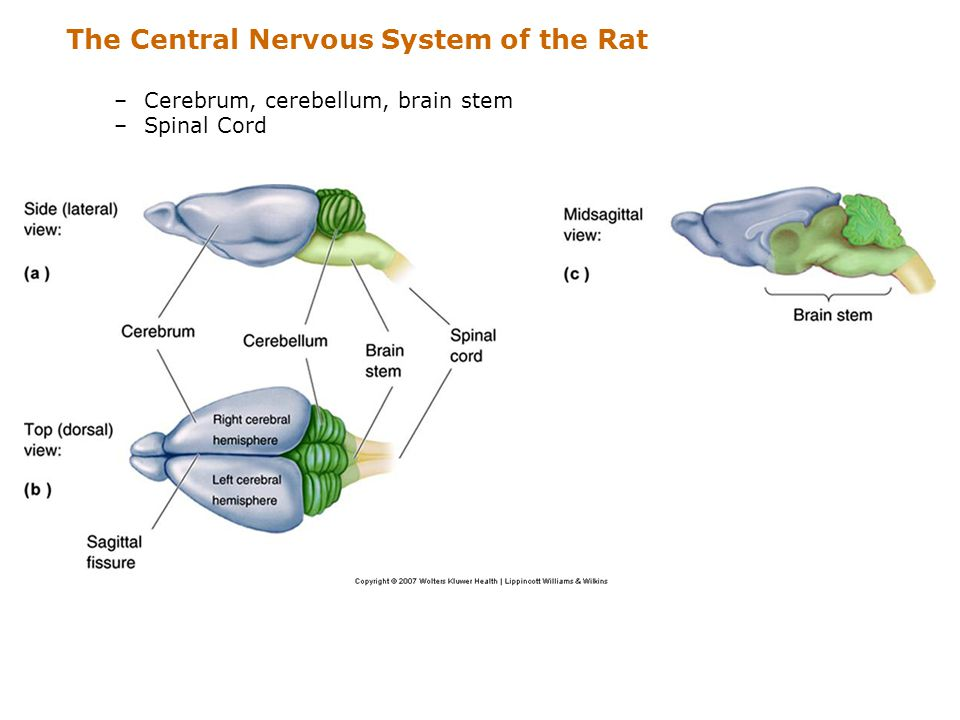 Chapter 7: The Structure of the Nervous System - ppt video online ...