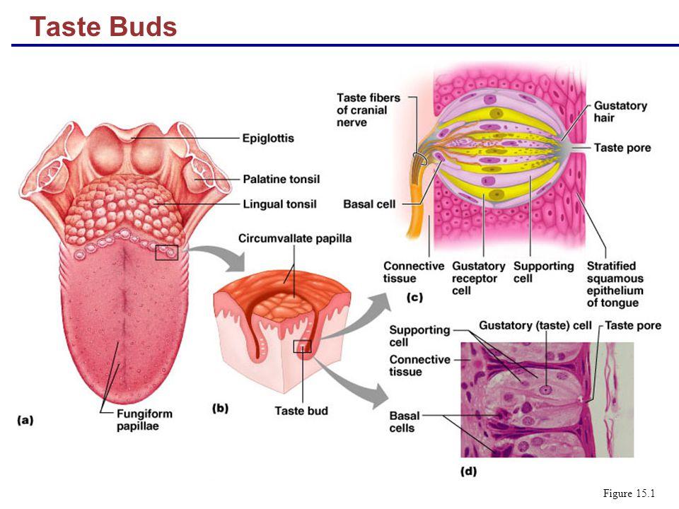 Chemical senses – gustation (taste) and olfaction (smell) - ppt download