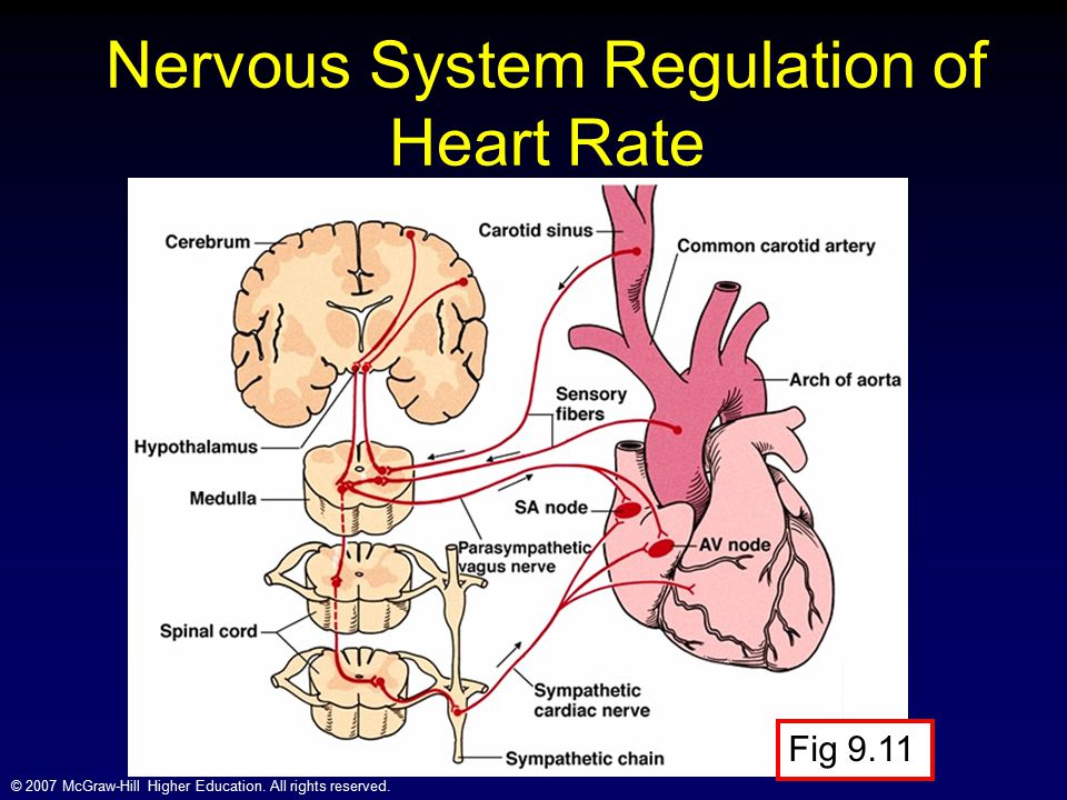 Nervous System Regulation of Heart Rate