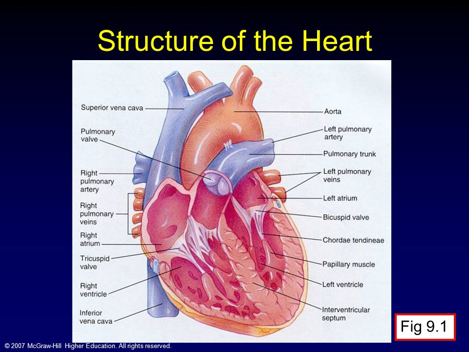 Structure of the Heart Fig 9.1