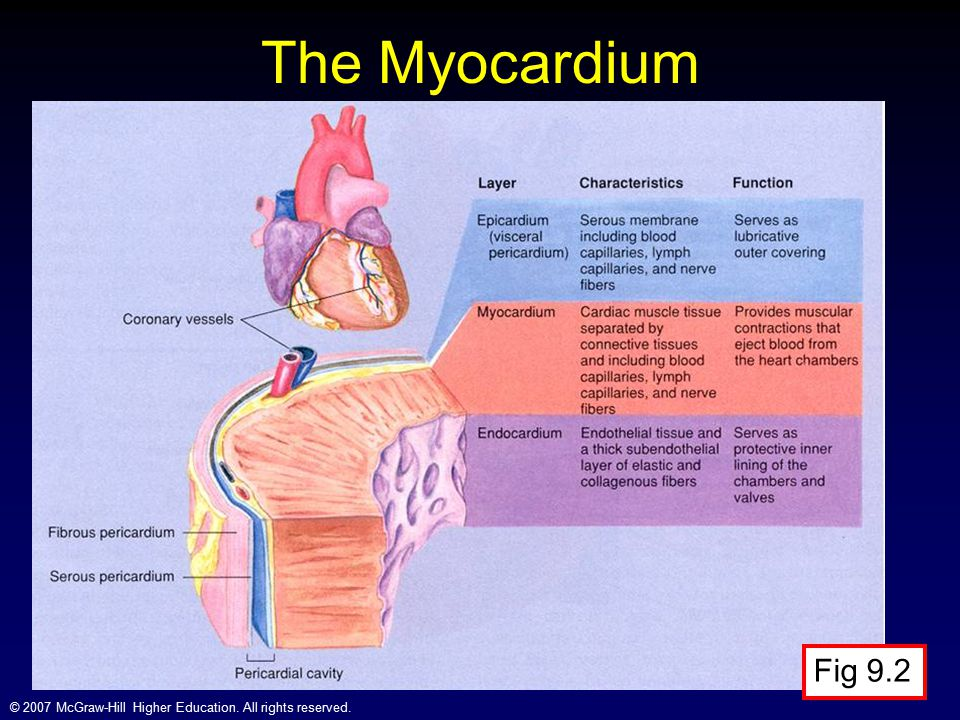 The Myocardium Fig 9.2