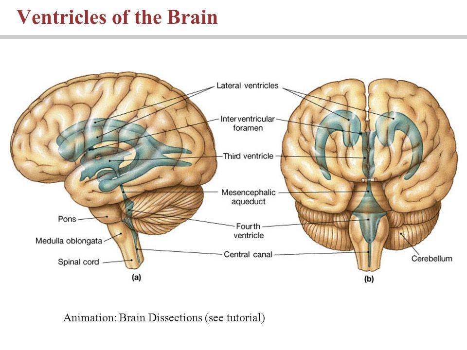 Lecture 10 Chapter 14 The Brain And Cranial Nerves Pages Ppt