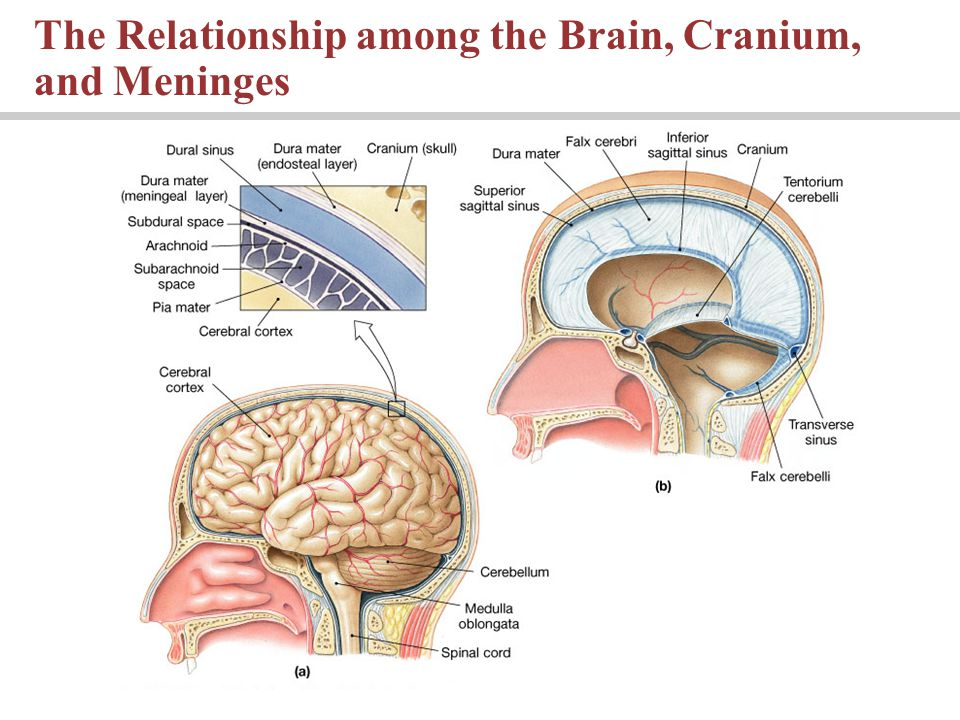Lecture 10: Chapter 14 The Brain and Cranial Nerves Pages : - ppt ...