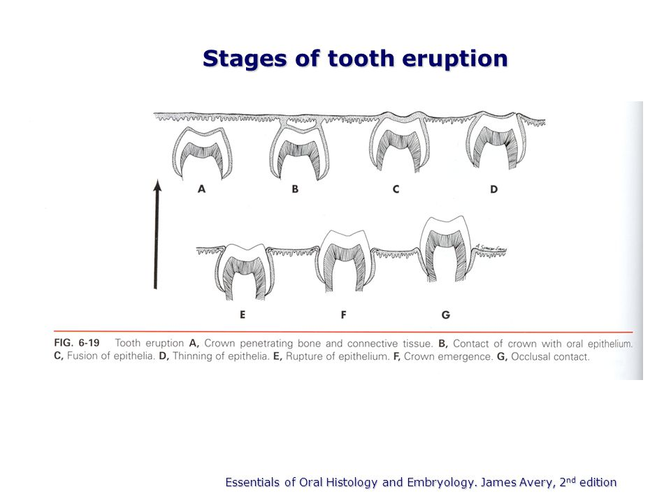Eruption and shedding of teeth ppt video online download stages of tooth eruption ccuart Images