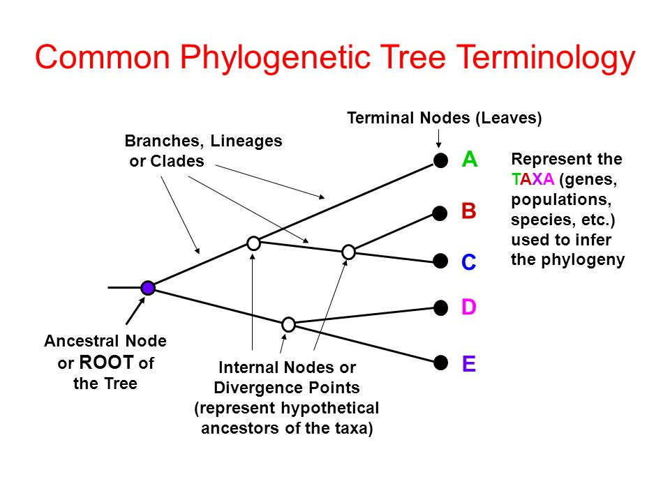 Phylogeic Reconstruction Ppt Video Online Download. Mon Phylogeic Tree Terminology. Worksheet. Phylogeic Tree Worksheet At Mspartners.co