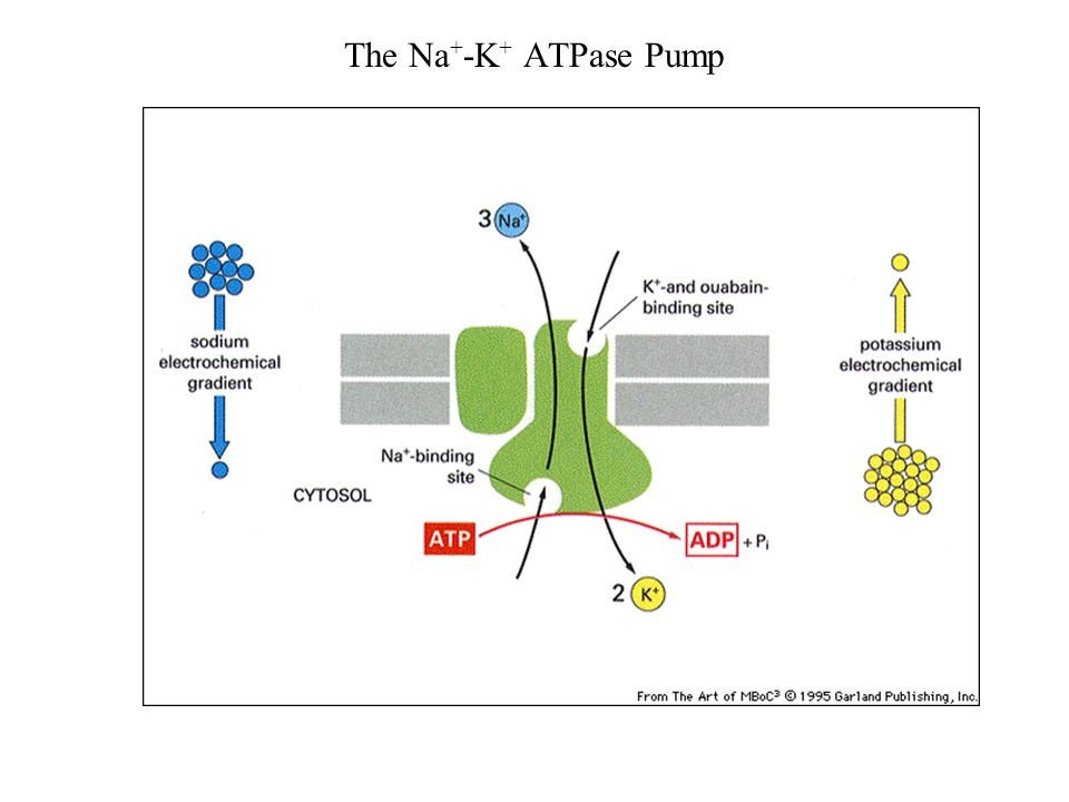 Sodium Potassium Atpase Pump Diagram Trusted Wiring Diagram