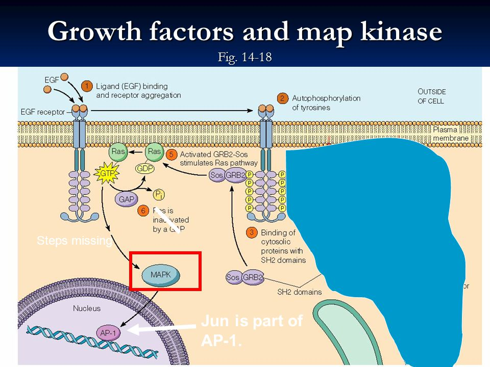 Map Kinase (Map = min-activated protein kinases) what is ... on jak-stat signaling pathway, mapk/erk pathway, cyclic adenosine monophosphate, tgf beta signaling pathway, signal transduction, protein kinase, notch signaling pathway, receptor tyrosine kinase, wnt signaling pathway, cyclin-dependent kinase, pi3k/akt/mtor pathway, protein kinase c, adenylate cyclase, c-jun n-terminal kinases,