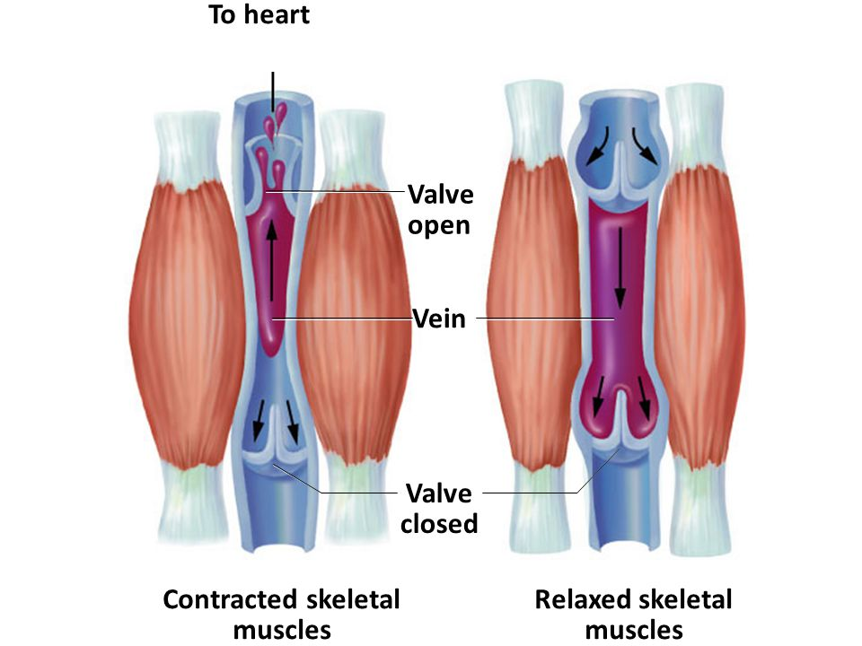 Blood Vessels Basic Vessel Anatomy Maintaining Constant Blood