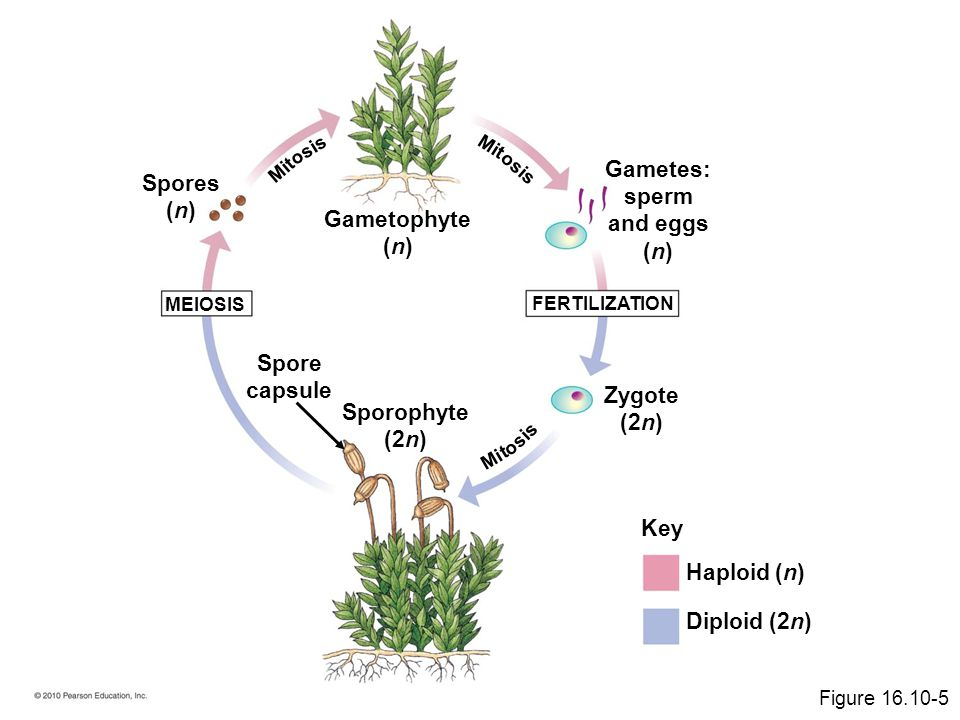 Gametes: sperm and eggs (n) Spores (n) Gametophyte (n) Spore capsule