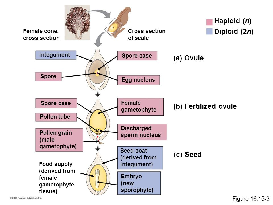Haploid (n) Diploid (2n) (a) Ovule (b) Fertilized ovule (c) Seed