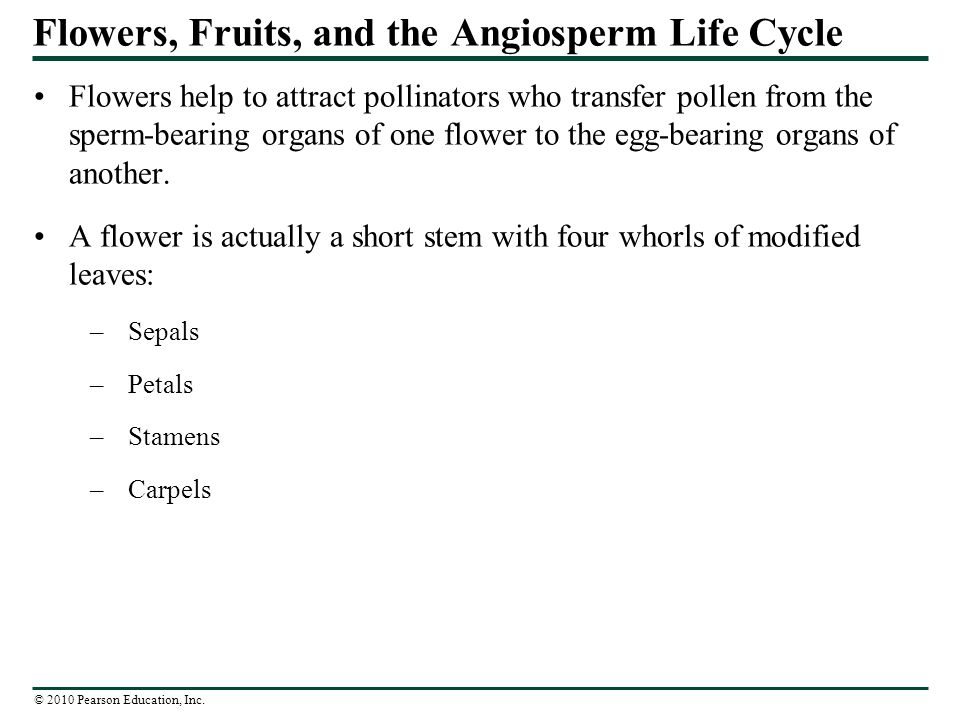 Flowers, Fruits, and the Angiosperm Life Cycle