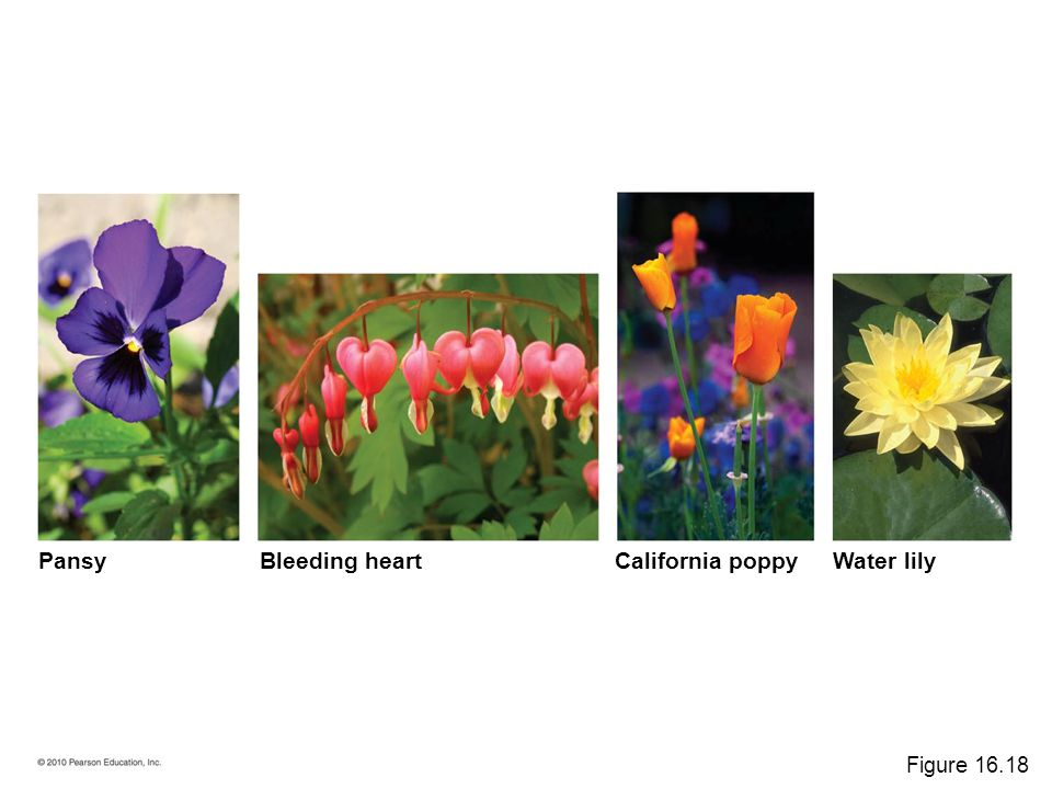 Pansy Bleeding heart California poppy Water lily Figure 16.18