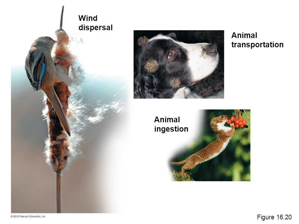 Wind dispersal Animal transportation Animal ingestion Figure 16.20