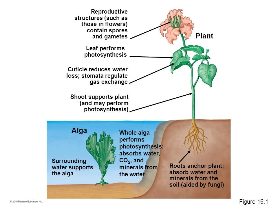 Plant Alga Reproductive structures (such as those in flowers)