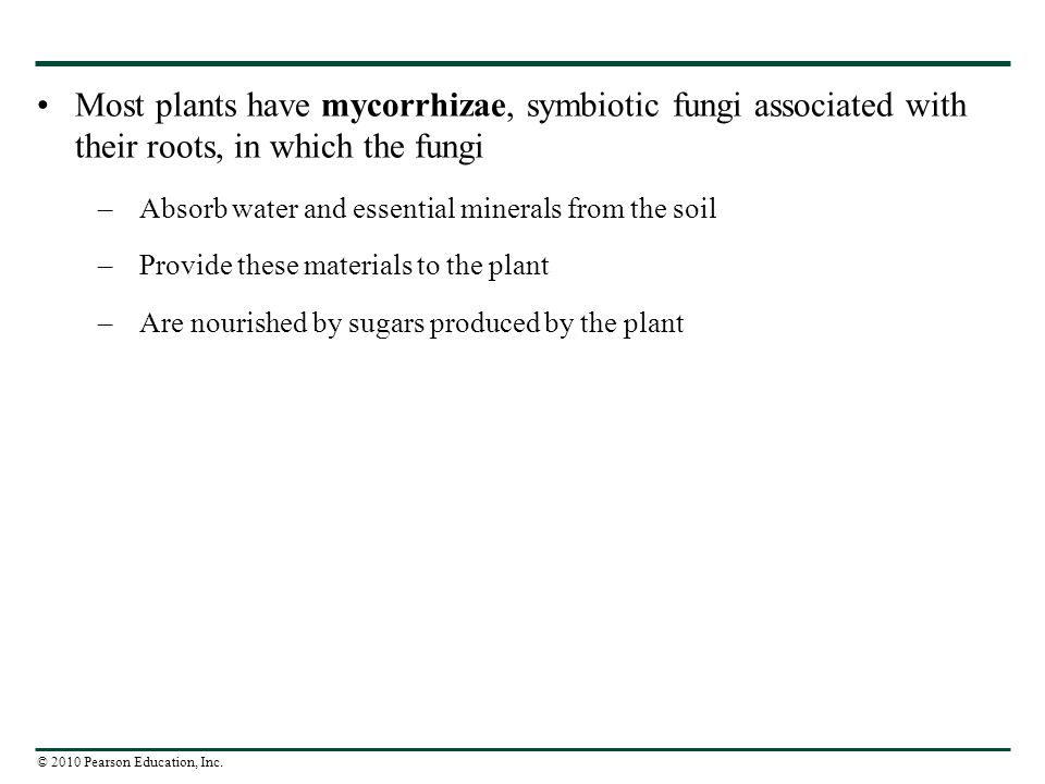 Most plants have mycorrhizae, symbiotic fungi associated with their roots, in which the fungi