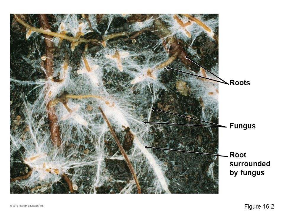 Roots Fungus Root surrounded by fungus Figure 16.2
