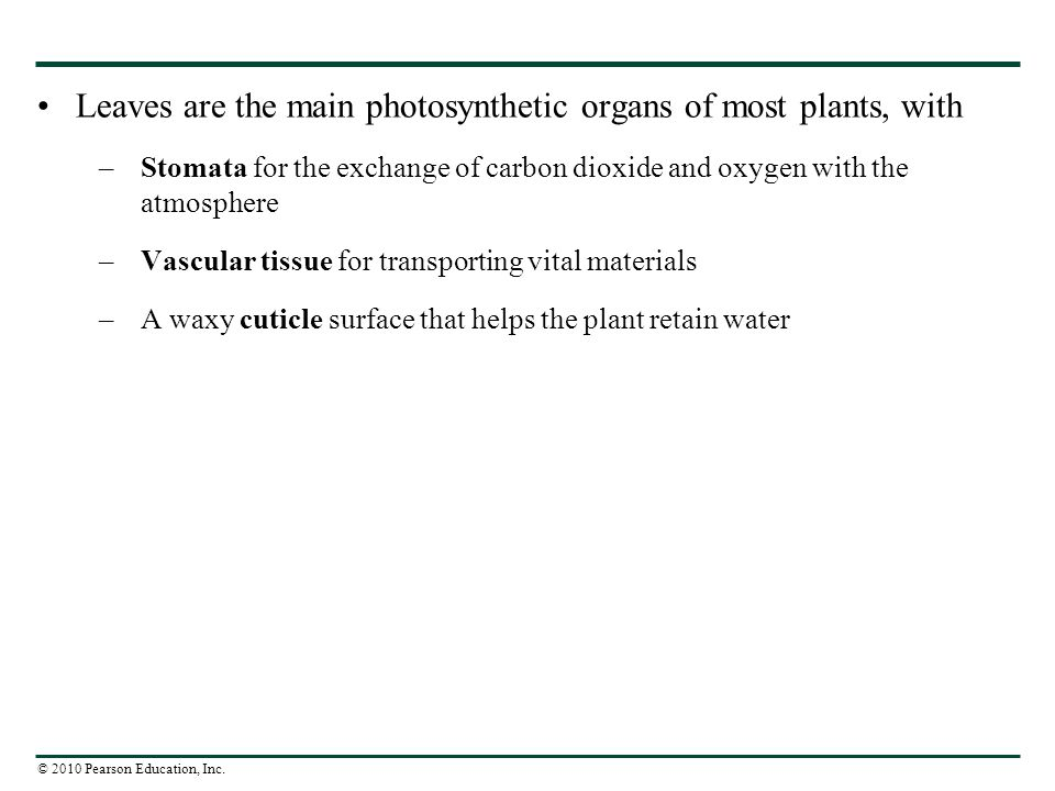 Leaves are the main photosynthetic organs of most plants, with
