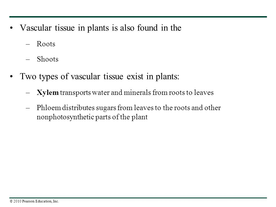 Vascular tissue in plants is also found in the
