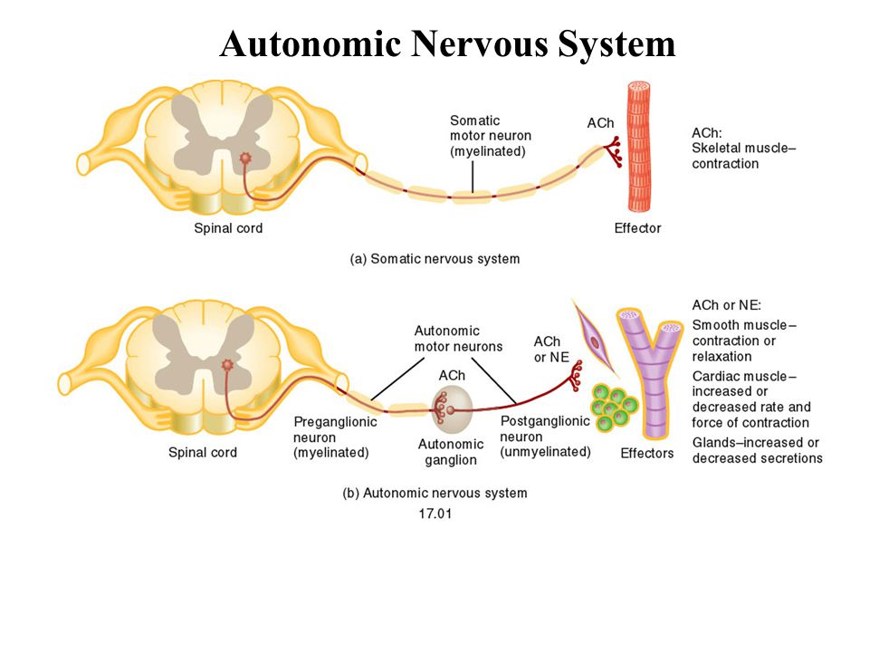 Structure of the Nervous System - ppt video online download | 960 x 720 jpeg 68kB