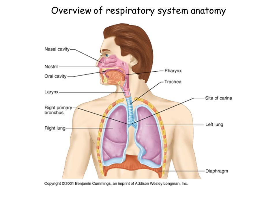 Unique Applied Anatomy And Physiology Of Respiratory System Ppt ...