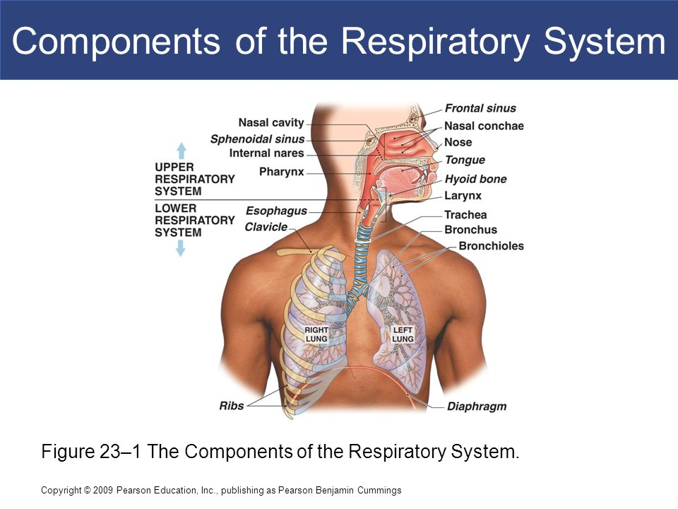 23 The Respiratory System C H A P T E R Ppt Download