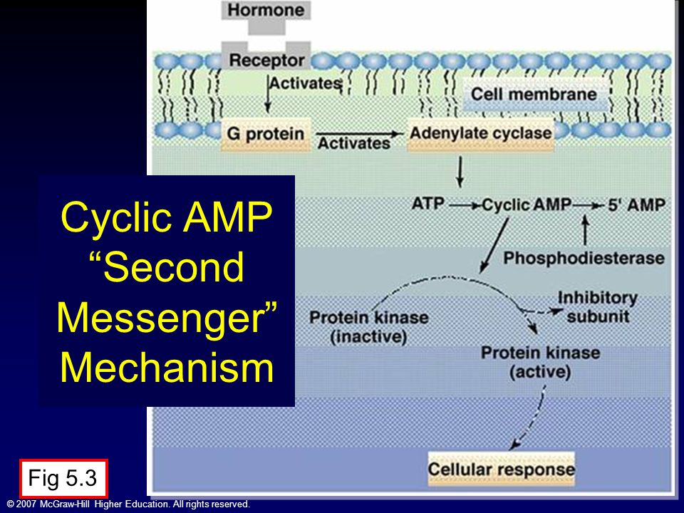 Cyclic AMP Second Messenger Mechanism