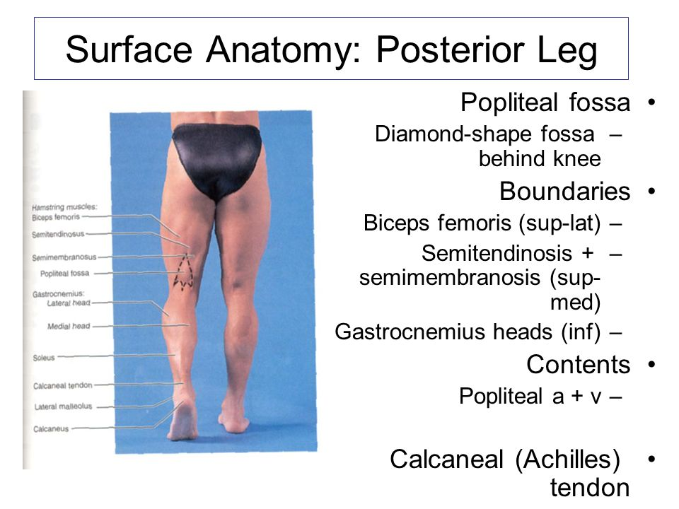 The Arm Figure The Arm Figure The Anterior Surface of the Forearm ...