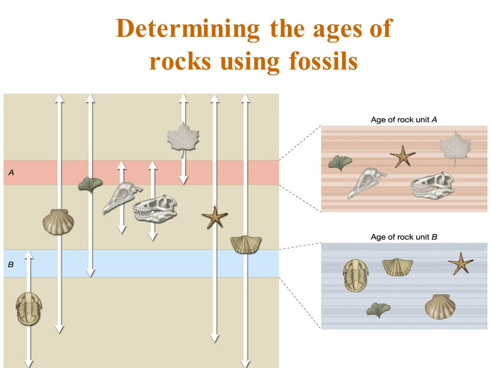 Determining the ages of rocks using fossils