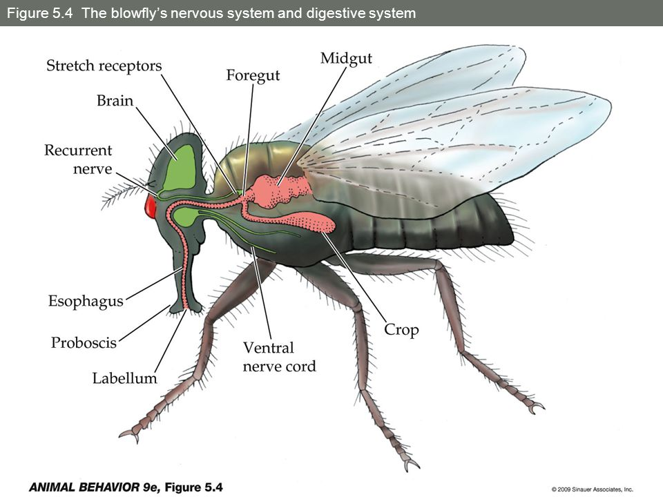 Figure 5.2 Nervous system of a praying mantis - ppt video online ...