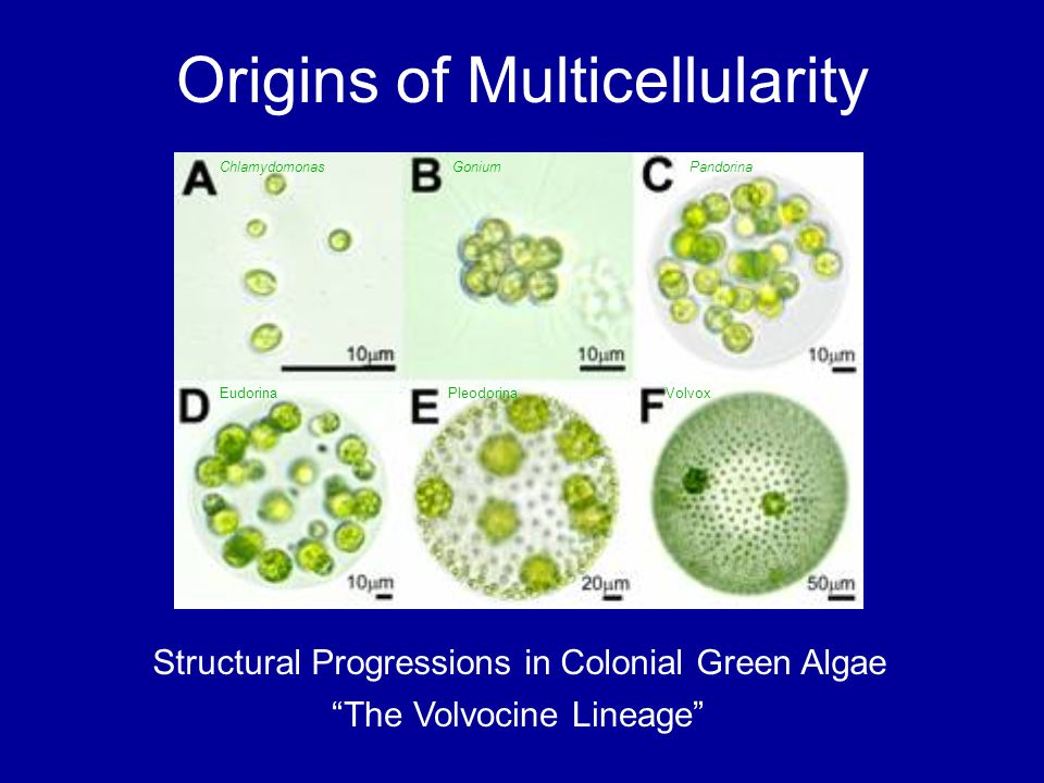Origins of Multicellularity
