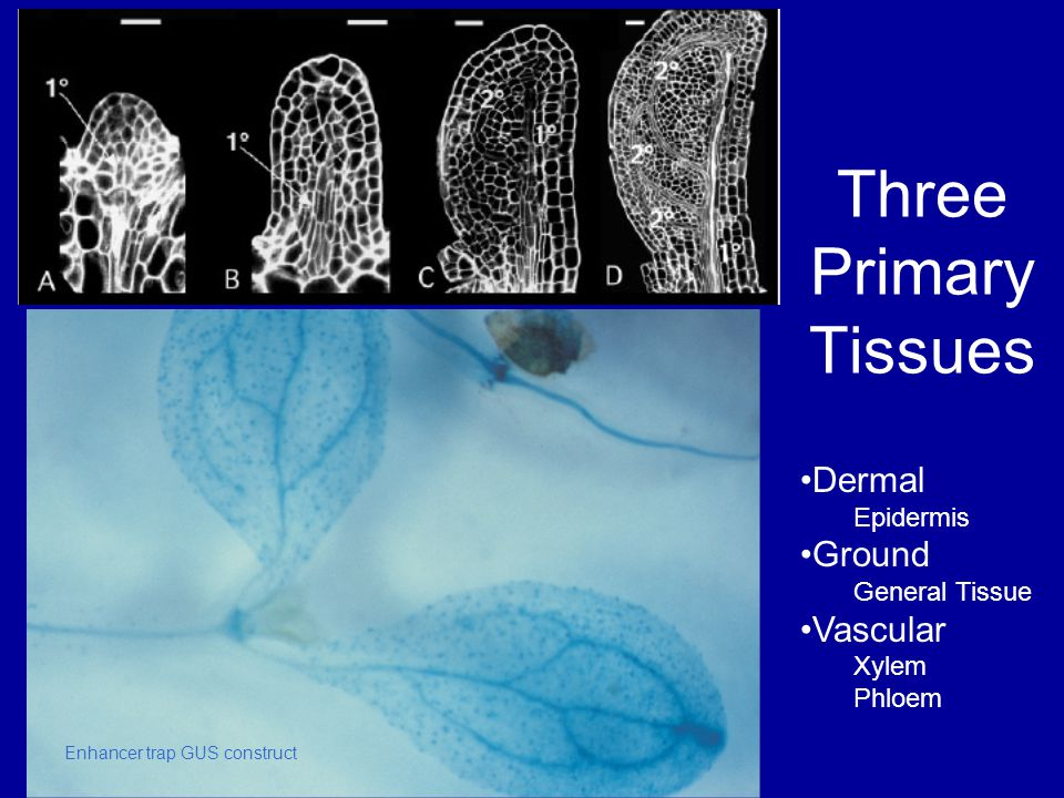Three Primary Tissues Dermal Ground Vascular Epidermis General Tissue