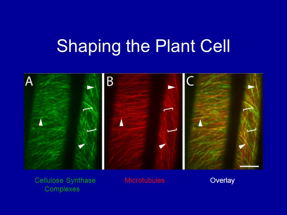 Shaping the Plant Cell Cellulose Synthase Microtubules Overlay